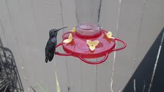 Download Bella Hummingbird Nest Cam 08-09-2018 14:13:29 - 15:13:29 Video