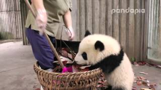 "Download Panda cub and nanny's ""war″ Video"