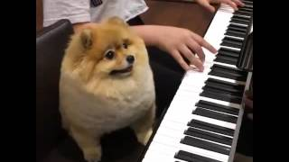Download Shila The Pom Playing Piano Video