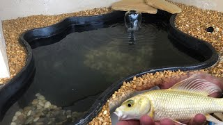 Download New KOI Pond For OUR Awesome Platinum Koi Video