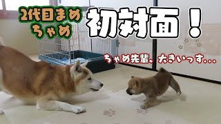 Download ケージを出ての初の対面 柴犬まめとちゃめ Video