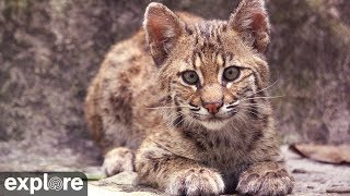 Download Bobcat Rehab Intensive Care - Big Cat Rescue powered by EXPLORE.ORG Video
