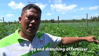 Download Tomato planting in Mindanao. A real money maker. some secrets revealed Video