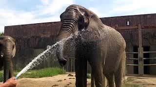 Download ゾウさんの水浴び Video