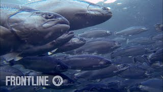 Download Norway's Salmon Farming Crisis | The Fish on My Plate | FRONTLINE Video