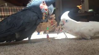 Download Cutest pets: black cockatoo plays with a goffins on a cockatoo play date Video