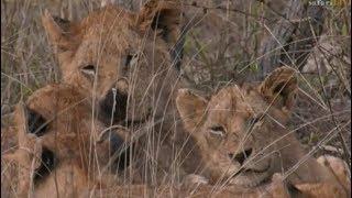 Download Pt 1 Safari Live's Sunrise Safari Drive at 5:00 AM on Nov 17, 2017 ( Styx Pride ) Video