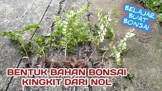 Download Membentuk Bahan Bonsai Jeruk Kingkit Atau Lime Berry - Triphasia Trifolia Video
