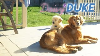 Download Daisy's 2nd + 3rd Days Home - Golden Retriever Puppy + Brother! Video