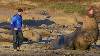 Download Up Close to Elephant Seals Fighting - Super Giant Animals - BBC Video