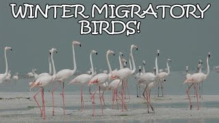 Download 10 Beautiful Birds That Migrate To India In Winter - Tens Of India Video