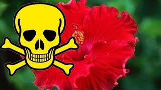 Download Почему ГИБИСКУС называют ЦВЕТКОМ СМЕРТИ? Можно ли держать китайскую розу в доме. Приметы и суеверия Video