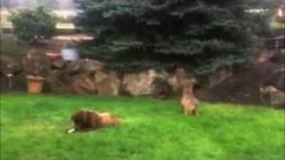 Download Coyote Stalks & Attacks Big Dog - FUNNY! Video