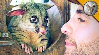 Download World's Cutest Possum! Video
