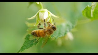Download HONEY BEES 96fps IN 4K (ULTRA HD) Video
