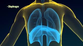 Download 2. How Do Your Lungs Work? Video