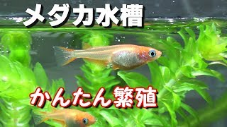 Download 水槽でメダカをかんたん飼育!繁殖!【メダカ水槽#32】 Video
