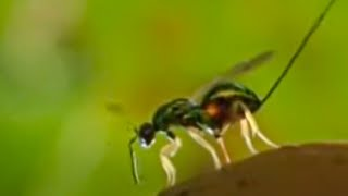 Download Oak tree and wasp eggs - Life in the Undergrowth - BBC Attenborough Video