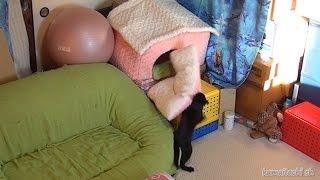 Download 猫部屋 こうして部屋は散らかる Cat room,Cat play【瀬戸の三毛猫日記】 Video
