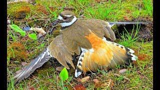 Download Âm mưu của con chim sát thủ gãy cánh P2 Video