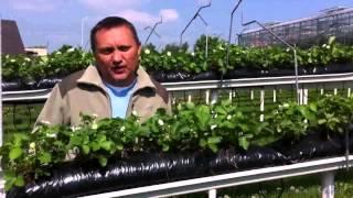 Download Dlaczego uprawiać truskawki na rynnach? Video