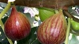Download EatYourBackyard - May 2017 Update - My Brown Turkey Fig Tree is AWESOME! Video