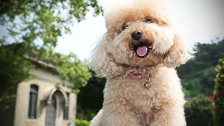 Download Funny Poodles 🐩 Cute Fluffy Poodles [Funny Pets] Video