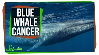 Download Why Don't All Blue Whales Have Cancer? Video