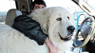 Download Biggest Dog Breeds Video