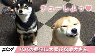 Download パパの帰宅に大喜び! チューをせがむ柴犬【PECO TV】 Video