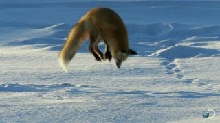 Download Fox Dives Headfirst Into Snow | North America Video