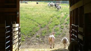 Download Sheep Barn Cam 07-22-2018 14:45:12 - 15:39:30 Video