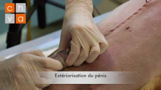 Download Sondage Urinaire Chien Video