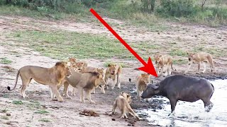 Download The Great Escape | Buffalo outsmarts pride of lions - Kruger National Park, South Africa Video