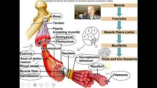 Download Introduction to the muscular system video 1 Video