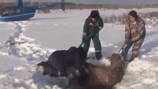Download The Incredible Rescue of Elk - You simply MUST SEE it !! Video