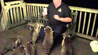 Download Feeding Raccoons 30 August 2014 Video