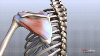Download Shoulder Anatomy Animated Tutorial Video