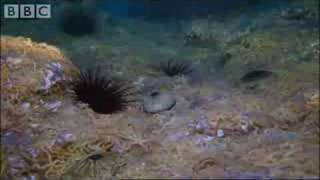 Download Army of Sea Urchins? | Planet Earth | BBC Video
