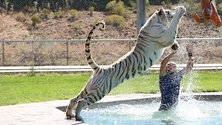 Download Tiger Splash: Keepers Swim And Play With Fully Grown Big Cats Video