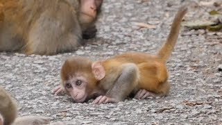 Download A possible case of cerebellar hypoplasia in a baby macaque ? Video