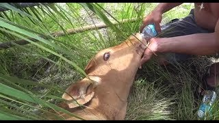 Download AMAZING Calf Rescue Video