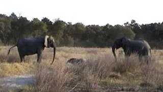 Download Strange Elephant Behavior Video