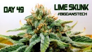 Download Day 49 Flower #BIGDANSTECH Wrap UP Production Cannabis Grow Video