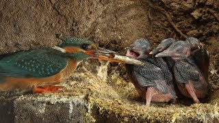 Download Robert E Fuller: Amazing footage of kingfishers inside their nest Video