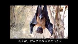 Download バイオパークのキュートなコウモリ Video