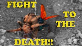 Download Tarantula Hawk Wasp VS Desert Tarantula- DESERT SHOWDOWN (FIGHT NOT STAGED! SEE DISCLAIMER) Video