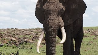 Download Speared Elephant Makes Miraculous Recovery Video