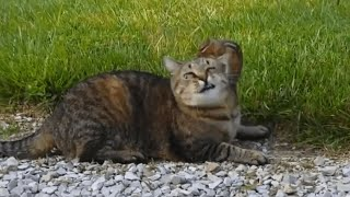 Download Chipmunk Stands Up Against Cat | Alvin Gets Away Video