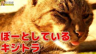 Download 【野良猫】ぼーとしているキジトラ【地域猫】 Video